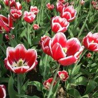 Весенний трепет ярко-огненных цветов ! :: Наталья Владимировна