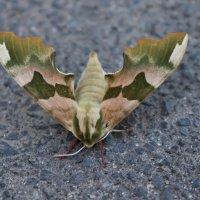 бабочка зеленый бражник :: Елена Иванкина