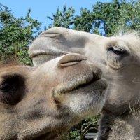 Два верблюда..... :: Мазутка