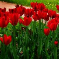 Стройные тюльпаны :: Наталья Лакомова