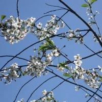 Вишня цветёт :: Дмитрий Никитин