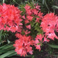 Азалия цветет :: minchanka