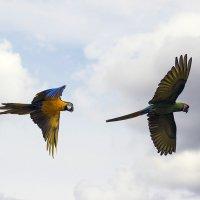 Прекрасен полёт ара :: Тамара Бедай