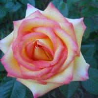 Первые розы мая. Прекрасная Глория :: Галина