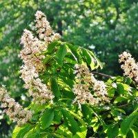 Снова цветут каштаны :: Aida10