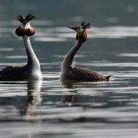 У кого-то птенцы, а у этих танцы. :: Светлана Ивановна Медведева
