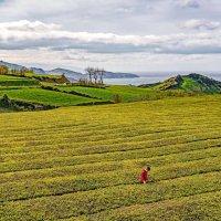 Azores 2018 Azores tea :: Arturs Ancans