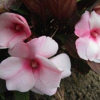 Бальзамин цветёт :: sm-lydmila Смородинская