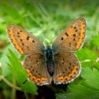про бабочек 3 - в крапинку :: Александр Прокудин