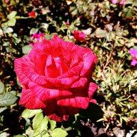 Розовые рооозы... Ооо... :: Dmitry Saltykov