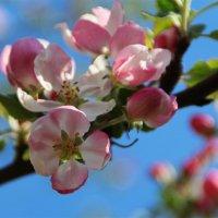 Нежное цветение яблоньки.. :: Татьянка *