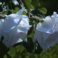 2 белые розы :: Игорь