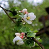 Цветы яблони :: san05   Александр Савицкий