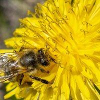 Пчёлка :: Сергей Коваленко