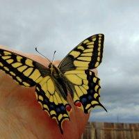 Первая бабочка. :: nadyasilyuk Вознюк