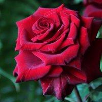 красный бархат :: leoligra