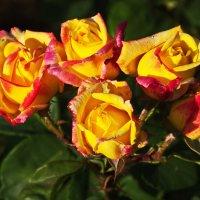 розы :: Игорь