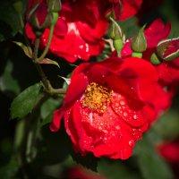 роза :: Игорь