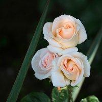 Три красотки под окном расцветали вечерком... :: Светлана