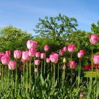 Май - время тюльпанов. :: Лия ☼