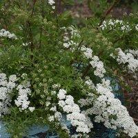 Белое облако цветов :: Лидия Суюрова