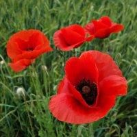 Мак — один из самых ярких цветов на свете... :: Galina Dzubina
