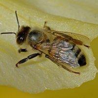 Пчела на лепестке гладиолуса :: Асылбек Айманов