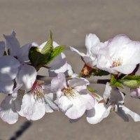 Ветка цветущей вишни :: Татьяна Ларионова