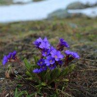 Горные цветочки :: ninell nikitina