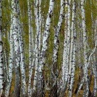 Весенний наряд примеряет берёзка,блестит серебром белый стан... :: nadyasilyuk Вознюк