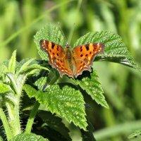Бабочка на малине :: наталия