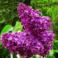 Красивый цвет сирени :: Милешкин Владимир Алексеевич