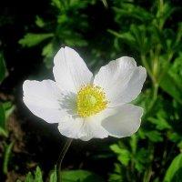 Цветок весны :: Елена Семигина