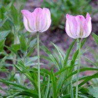 Стоят вдоль дорожки красивые цветы на стройной ножке. Это расцвели тюльпаны. :: Валерий Новиков