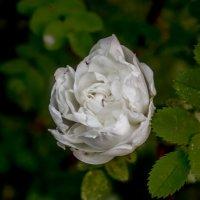 белая чайная роза :: Ольга (Кошкотень) Медведева