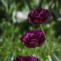 « Какая прелесть! - цвет тюльпана. Какая нежность, стиль в цветке.…» :: Андрей Нибылица