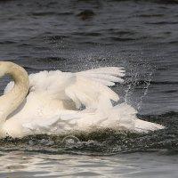 Купание белого лебедя :: Lusi Almaz