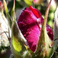 Роза по имени Лана :: Galina Belugina