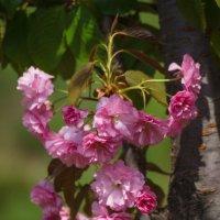 « Сакуры нежной Пена оживших цветов…» :: Андрей Нибылица