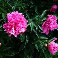 Цветут роскошные кусты... :: Galina Dzubina