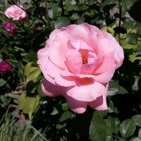 Майские розы Фото №9 :: Владимир Бровко