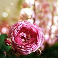 Чайная роза :: Татьяна Баценкова