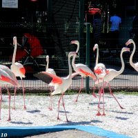 Танцующие фламинго :: Нина Бутко