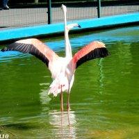 Фламинго... Всё-таки их двое... :: Нина Бутко