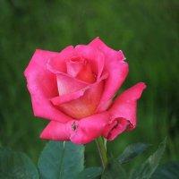 Пурпурно-розовая :: Ольга Степанова