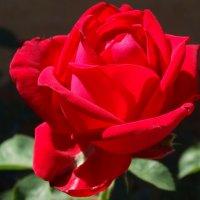 Майская роза с отметинкой... :: Тамара (st.tamara)