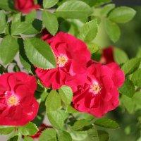 Майские розы :: Minowara Sam