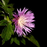 ЦветикЪ  ( Centaurea dealbata ) :: Dr. Olver ( ОлегЪ )