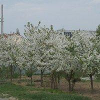 Прощальный книксен весны :: Syntaxist (Светлана)