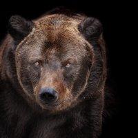 Медведь :: олег